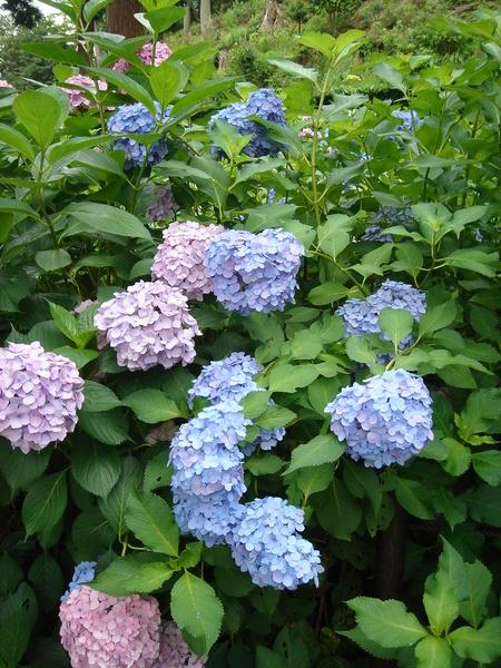 紫陽花(繡球花)特寫