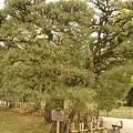 栗林公園---箱松