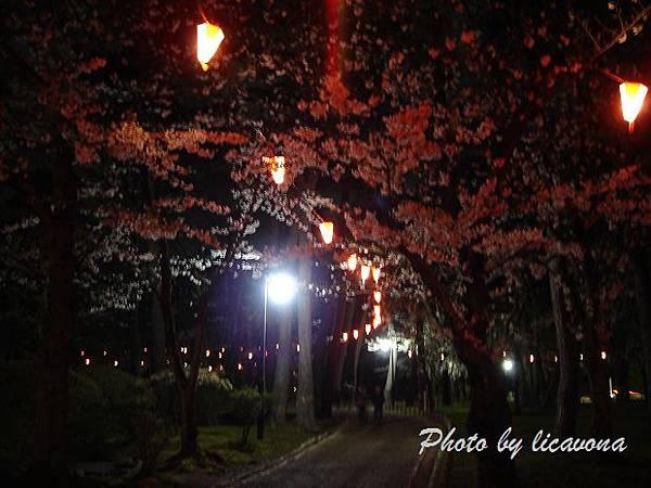 千秋公園夜櫻