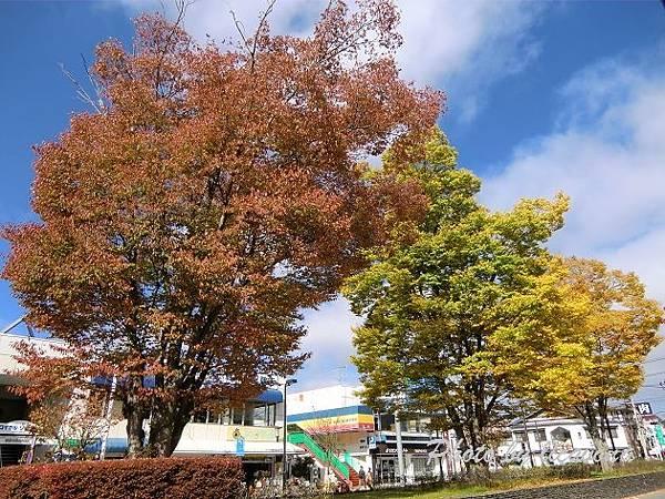 輕井澤行道樹
