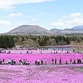 富士芝櫻--全景照