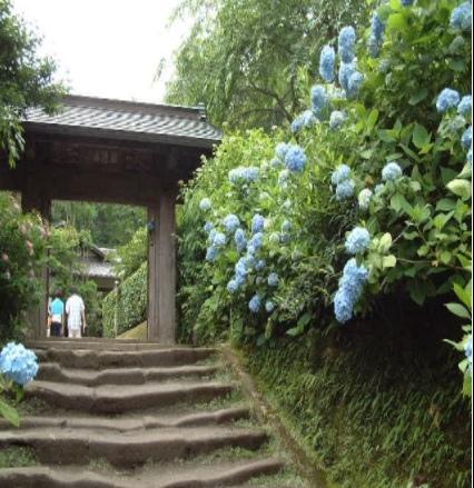 鎌倉-明月院.jpg