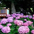 奈良-矢田寺2.jpg