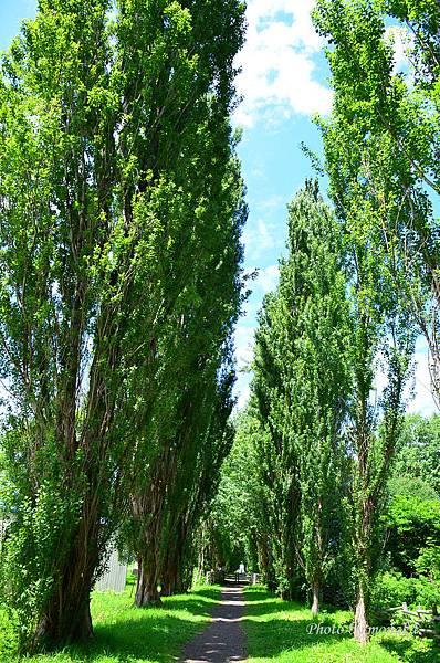 北海道大學--白楊木林道(ポプラ並木)