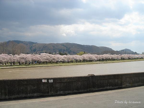 遙望彼岸櫻花並木