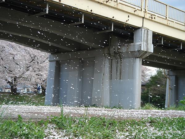 北上展勝地~櫻吹雪