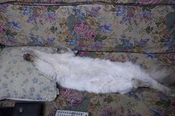 好長的一條貓~