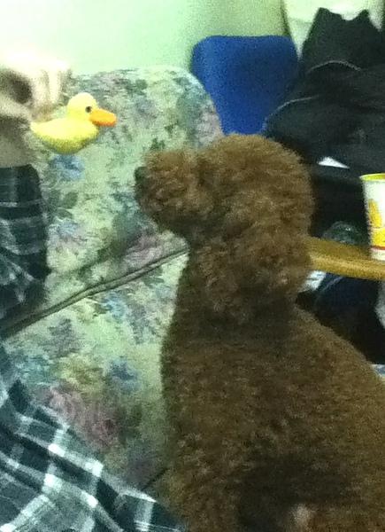 柚柚認識新朋友-我的毛氈小鴨