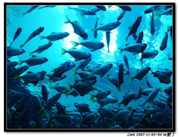 海生館-一大群不知名小魚1