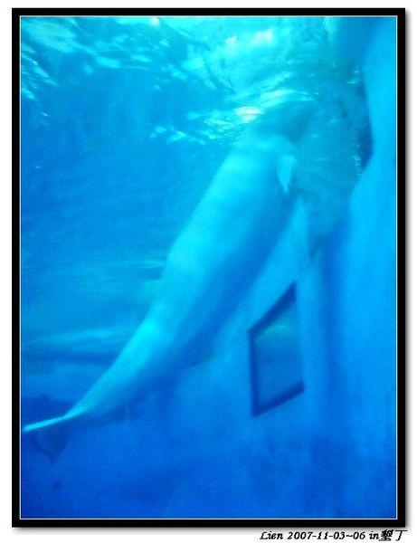 海生館-小白鯨1
