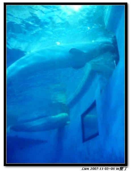 海生館-小白鯨3