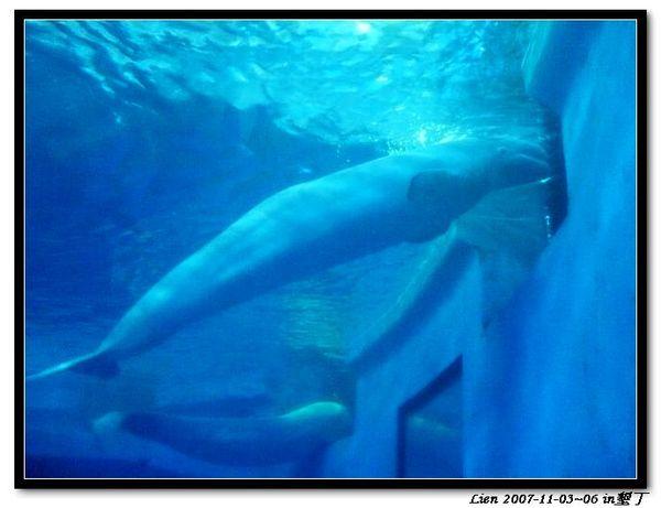 海生館-小白鯨4