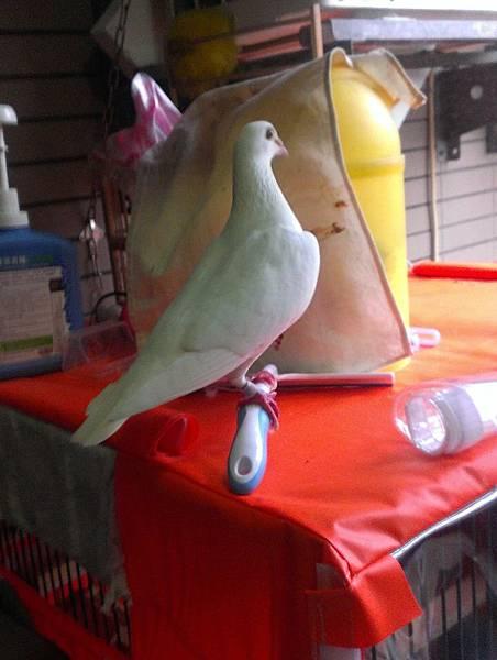 白白-母,與咖啡公鴿留了二羽-雪積及啡白03;也與天雪-公留了一羽天白06;是一羽好母鴿,可惜逃跑了!