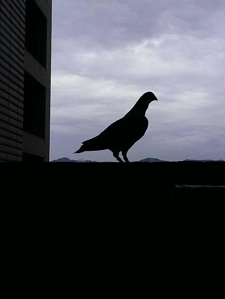 黑斑公鴿-綠綠;留了黑駒-母,綠白35及綠白36,共三羽後代