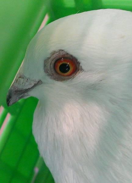 母鴿2008
