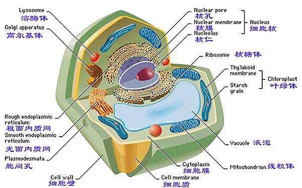 植物細胞示意圖02.jpg