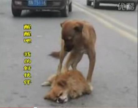 真情的狗狗 誓死保護同伴 在馬路中間一心想喚醒同伴