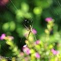 安妮公主花園 - 蜘蛛