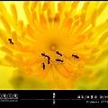 睡蓮裡的螞蟻