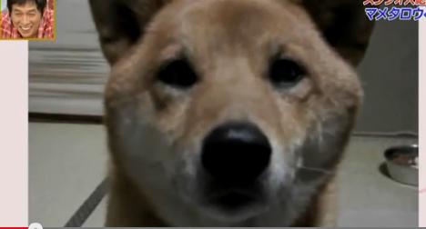 超有靈性的狗狗, 會控制音量