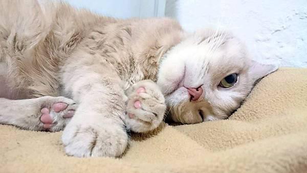 貓:喬個好姿勢繼續睡 20150308-Sony-D6653