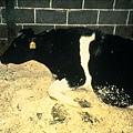一頭已感染牛海綿狀腦病的母牛