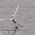 20100429-大肚溪-小白鷺-01.JPG