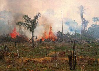 焚燒森林地 用來餵養動物 與種植玉米飼料