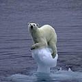 北極熊受困