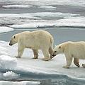 尋找食物的北極熊