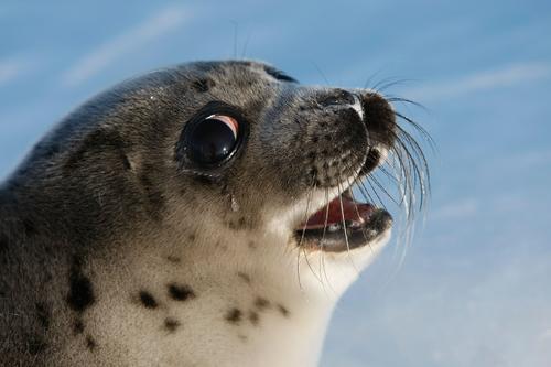 哭泣的海豹
