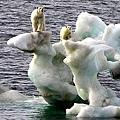 北極熊被困浮冰