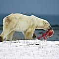 北極熊吃幼熊
