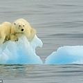 這對北極熊母子被認為是在捕獵海豹後在海冰上乘涼時被困的.jpg