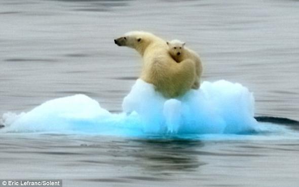 一名動物專家表示,成年北極熊可以游50英里,每小時游5到6英里,因此北極熊媽媽游12英里返回岸上應該不成問題.jpg