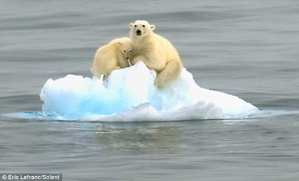 小北極熊緊緊依偎在媽媽懷裡,它們擠在狹小的海冰上在大海上漂流.jpg
