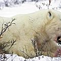 北極熊啃食幼熊屍體