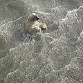 2008年8月30日,英國《每日郵報》登出一張照片,顯示一頭北極熊正在海浪中掙扎。相關報導說,它和另外8頭北極熊因所住冰面消融而掉進汪洋大海,窘況「令人心碎」。新華日報 圖.jpg