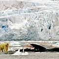 2009年8月,記者拍到北極熊啃噬十米長鬚鯨屍,疑與氣候變暖有關。羊城晚報 林偉生 攝.jpg