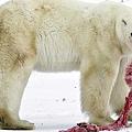 北極熊被迫獵食幼熊