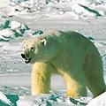 因飢餓開始獵殺同類的北極熊。美國和加拿大的科學家通過調查發現,波弗特海南部的北極熊中出現捕食同類現象,這是因為當地無冰季節越來越長,北極熊很難捕到其他獵物。.jpg