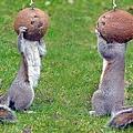 兩隻小松鼠將頭整個鑽進椰子殼吃椰肉
