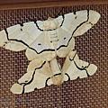八仙山小木屋的飛蛾.jpg