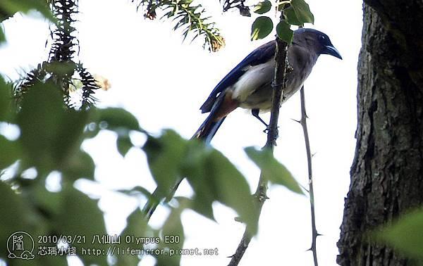 八仙山 樹鵲
