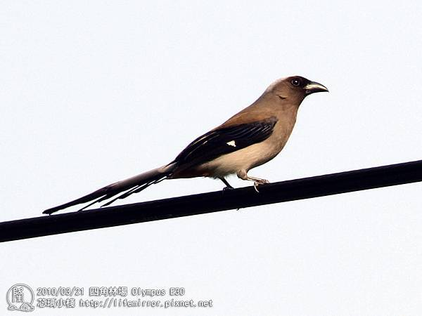 四角林場 樹鵲