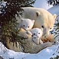 北極熊一家三口依偎在一起取暖