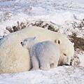小熊依偎在媽媽的身邊