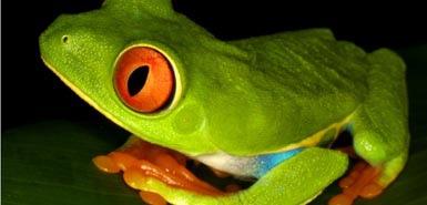 樹蛙的生存正受到威脅