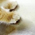 幼貓送養 金醬