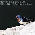 20100501-大肚溪-家燕_5015649-C.jpg